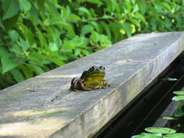 A cute little pond frog