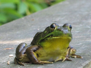 """little frog"" posing by the pond garden"