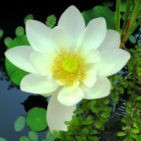 Green Healing ~ Lotus and Little Frog