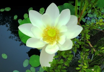 "Image of Large White Lotus Lily flower, ""dokisses blog photos"""