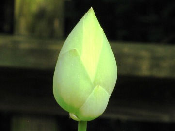 Lotus Lily Flower, Closed Petals