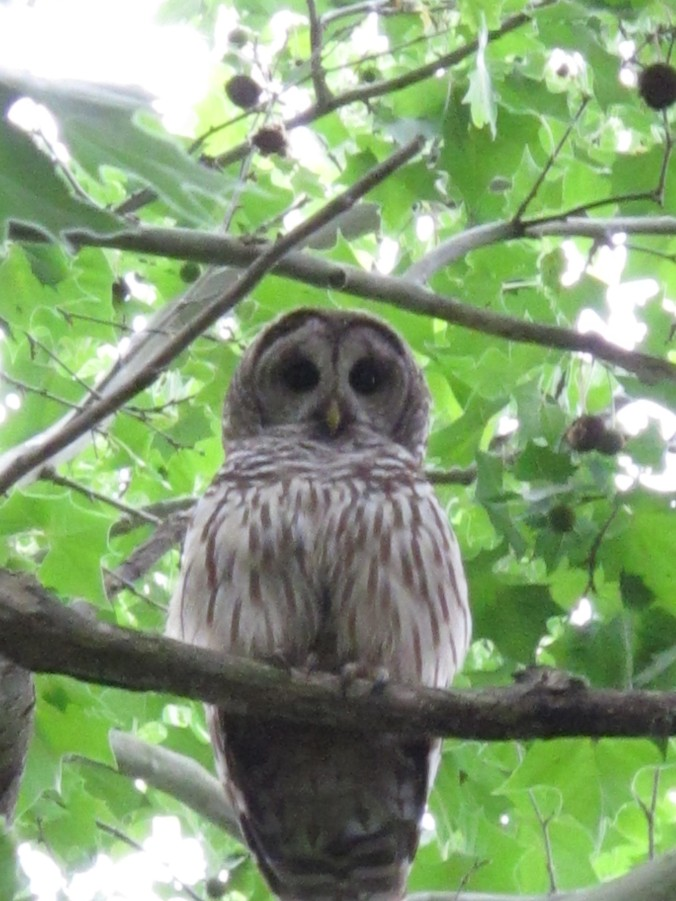 Barred Owl hunting in daylight in North Carolina Town